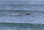 10th Aug 2018 - Then a whale appeared between the swells!