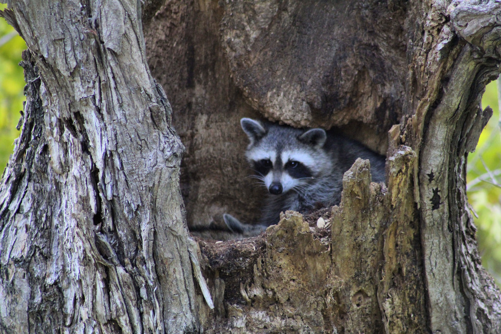 Mama Raccoon by cjwhite