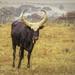 Ugandan Ankole Cow by ludwigsdiana