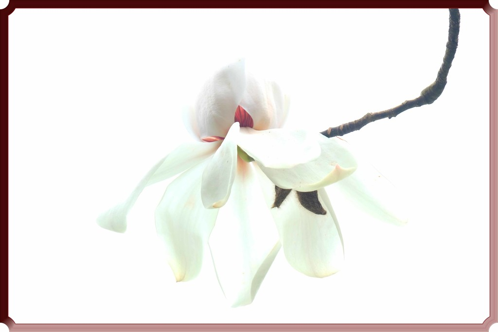 Spring magnolia by maureenpp