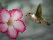 12th Aug 2018 - Hummingbird in Flight 2