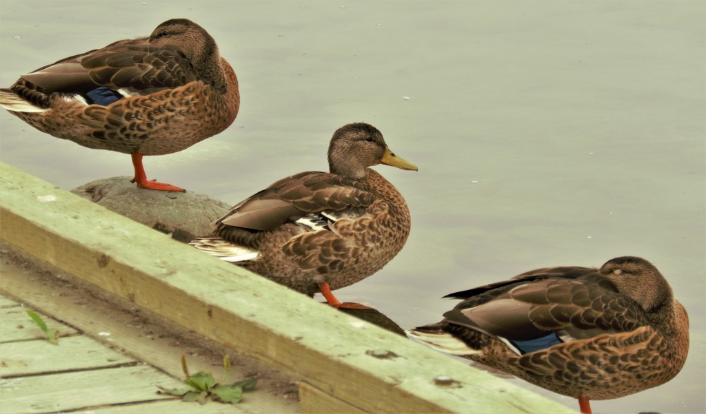 Finally got my Ducks in a Row! by radiogirl
