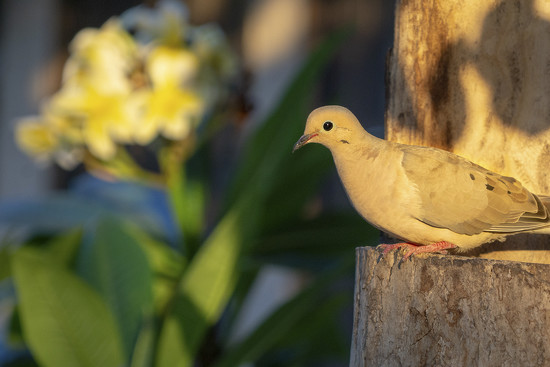 """Peace"", Dove ... by Weezilou"
