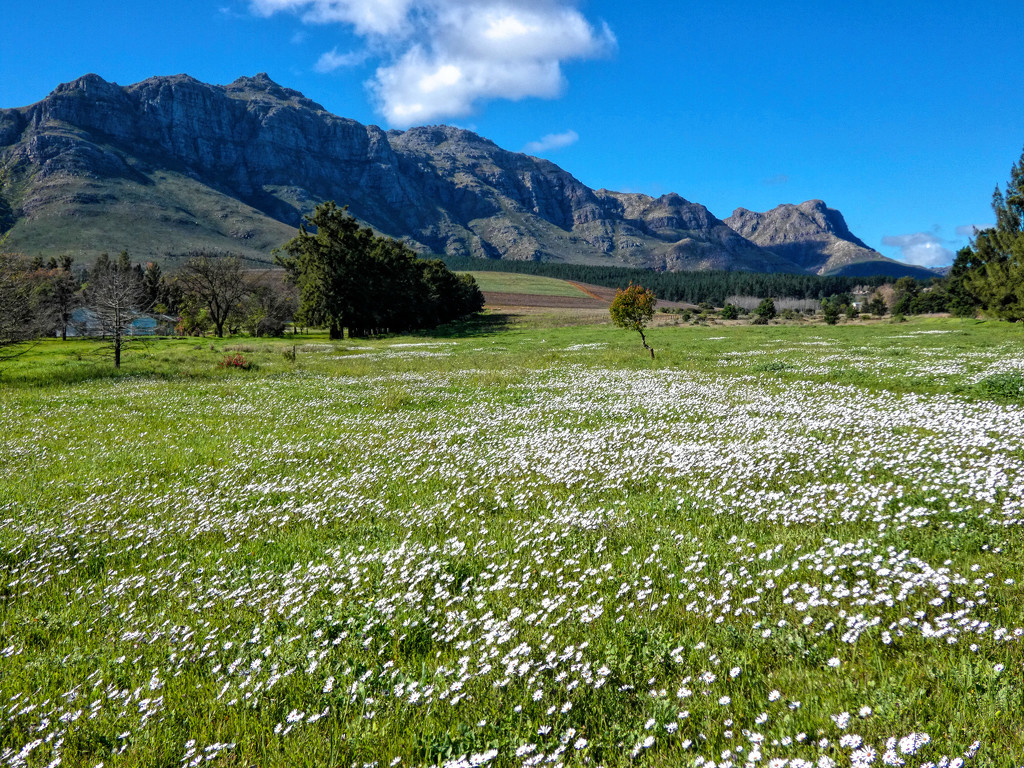 A carpet of Daisies by ludwigsdiana