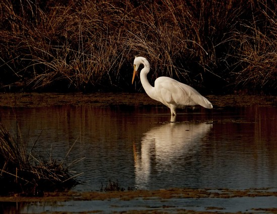Reflecting white heron by maureenpp