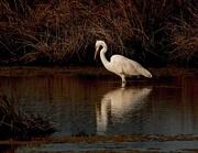 10th Aug 2018 - Reflecting white heron