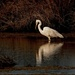 Reflecting white heron