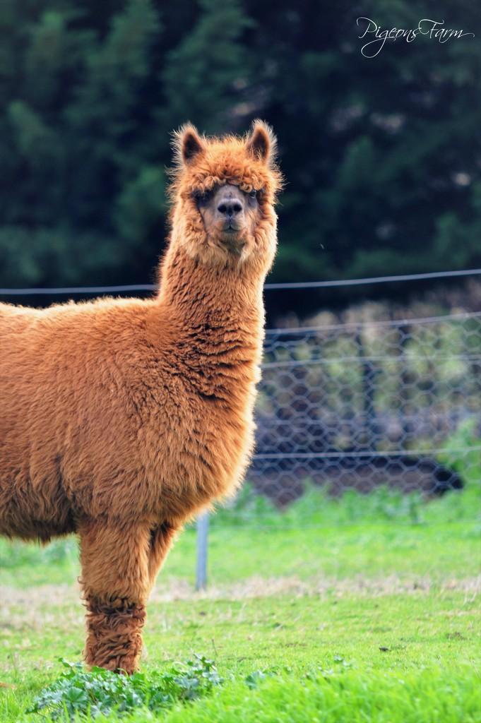 Huacaya Alpaca by kgolab