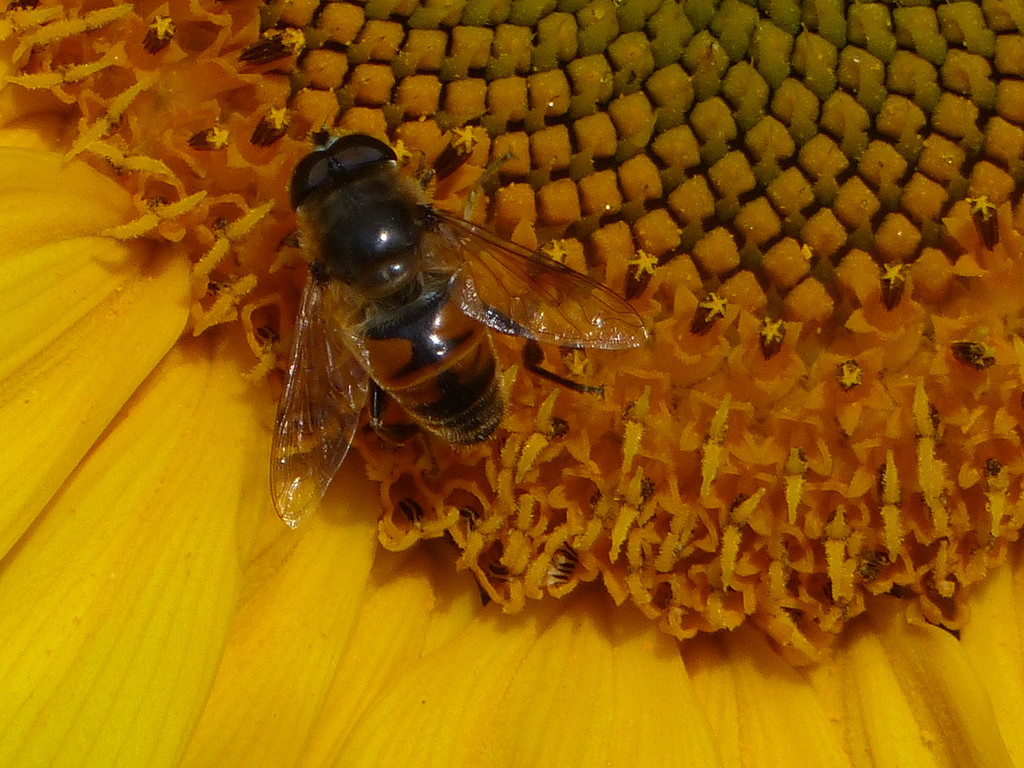 Hoverfly on a Sunflower  by susiemc