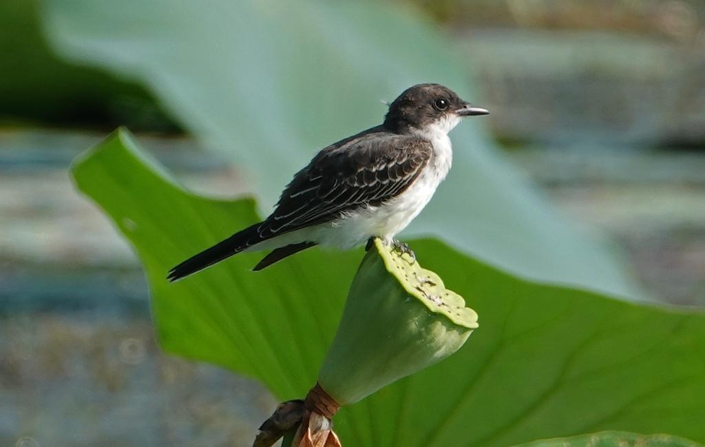 Eastern Kingbird by annepann