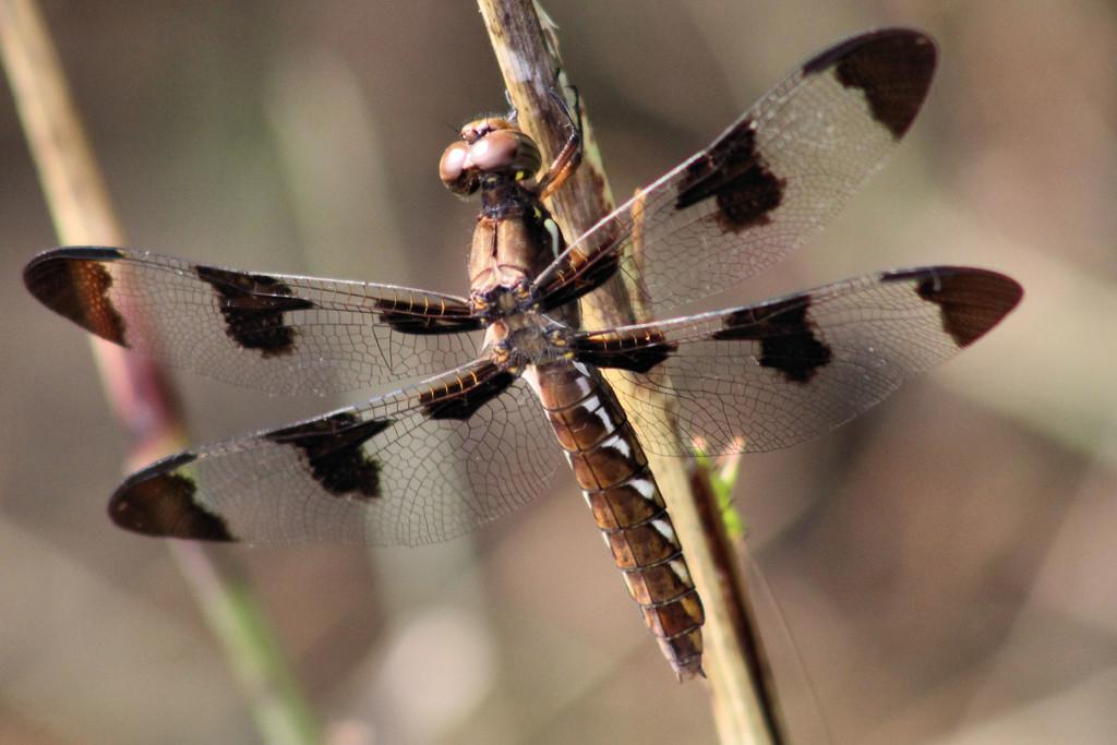 Brown Dragon by cjwhite