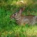 cottontail rabbit landscape