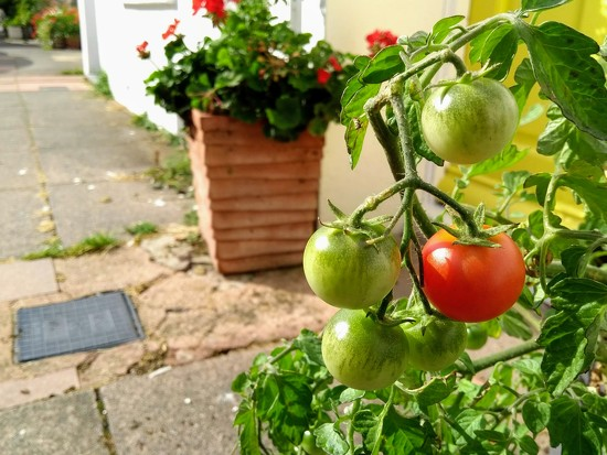 Green Tomatoes by 4rky