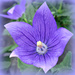 Balloon Flower.