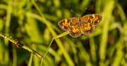 14th Aug 2018 - Butterfly on the Bahia Grass!