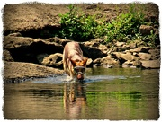 15th Aug 2018 - You Act Like You've Never Seen a Dog Standing In The Lake  Drinking Water With Googles On