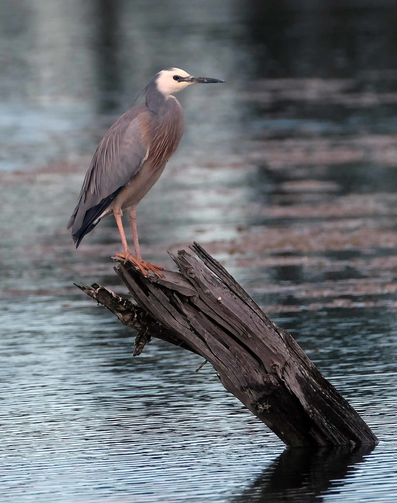 White faced heron by maureenpp