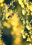 31st Jul 2018 - wattle it BEE