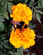 15th Aug 2018 - Busy bee