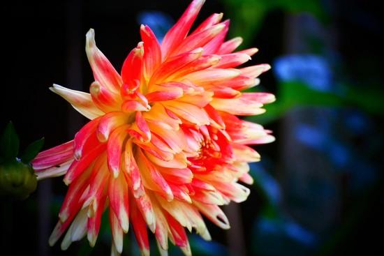 Brightly Coloured Dahlia by carole_sandford