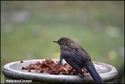 15th Aug 2018 - Poor little blackbird