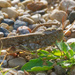grasshopper wide