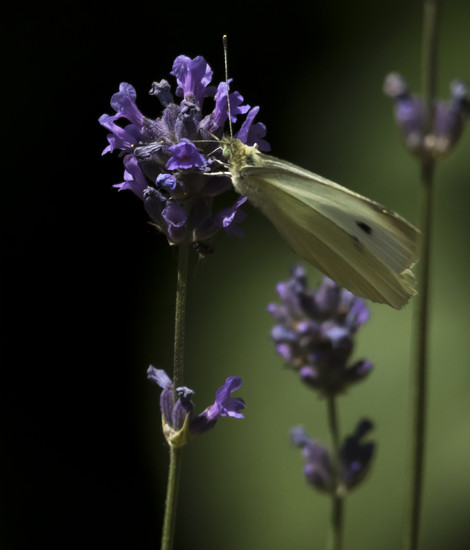 Cabbage White by shepherdmanswife