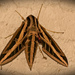White Lined Sphinx Moth!