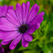 Purple Daisy by elisasaeter