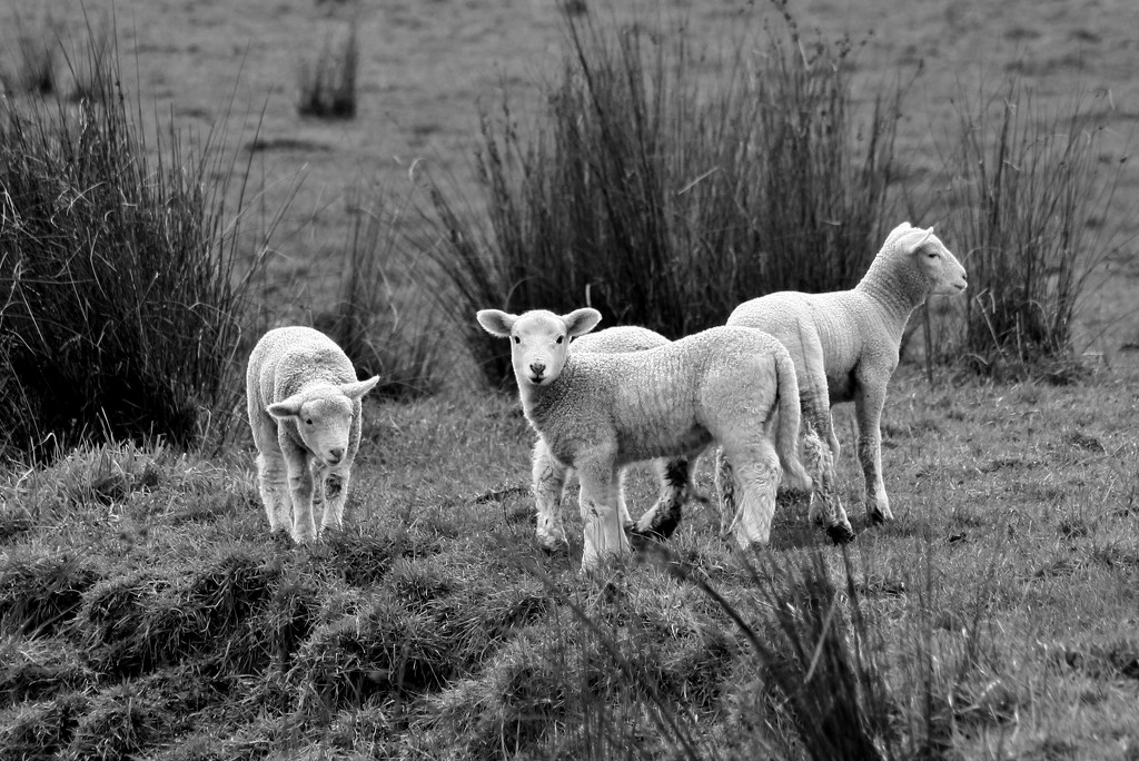baby sheep by wenbow