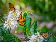 16th Aug 2018 - Butterflies on Bottlenose Bush