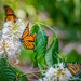 Butterflies on Bottlenose Bush