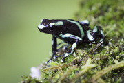 29th Jul 2018 - Poison Dart Frog