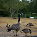Canada geese & friends