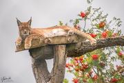 17th Aug 2018 - Northern Lynx