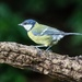 Blue Tit by pamknowler