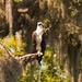 Osprey Standing Proud