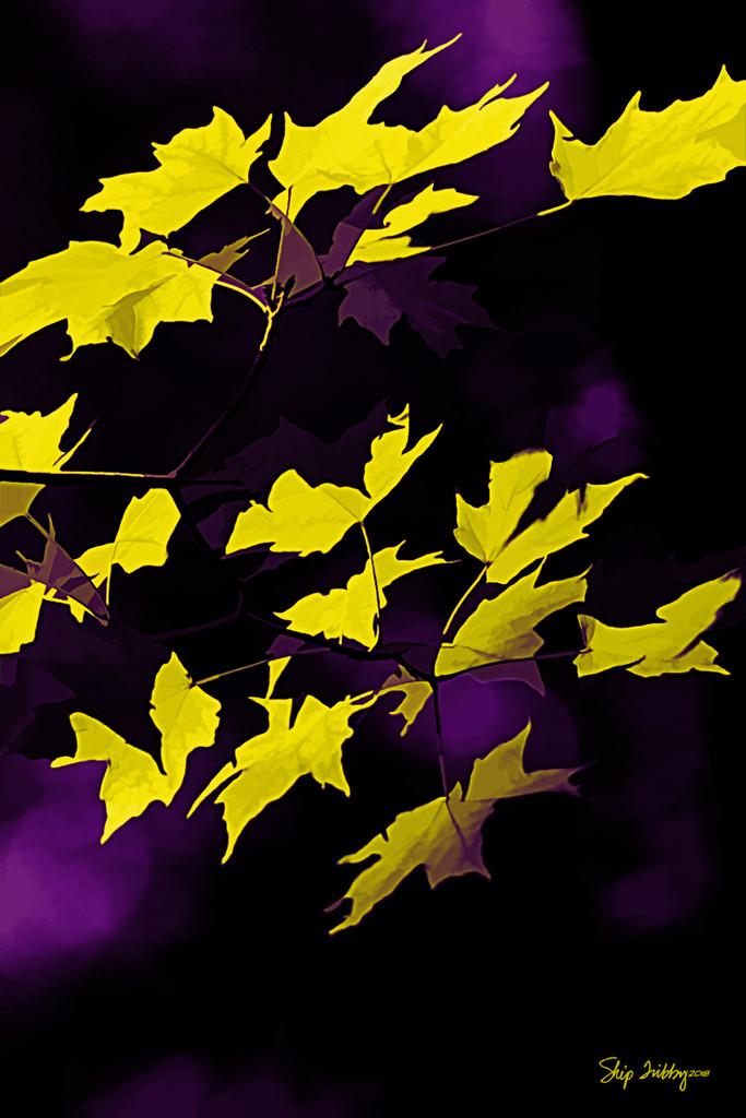 Back-lit Maple Leaves by skipt07