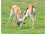 19th Aug 2018 - Gif - Springbuck locking their horns and testing their strength!
