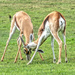 Gif - Springbuck locking their horns and testing their strength! by ludwigsdiana