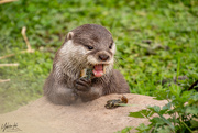18th Aug 2018 - otter