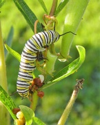 17th Aug 2018 - August 17: Monarch Caterpillar