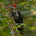 Ye Ole Pileated Woodpecker!