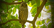 18th Aug 2018 - Barred Owl Keeping an Eye Out!