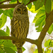 Barred Owl Keeping an Eye Out!