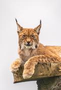 19th Aug 2018 - Lynx