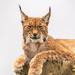 Lynx by yorkshirekiwi
