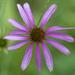 purple coneflower top view