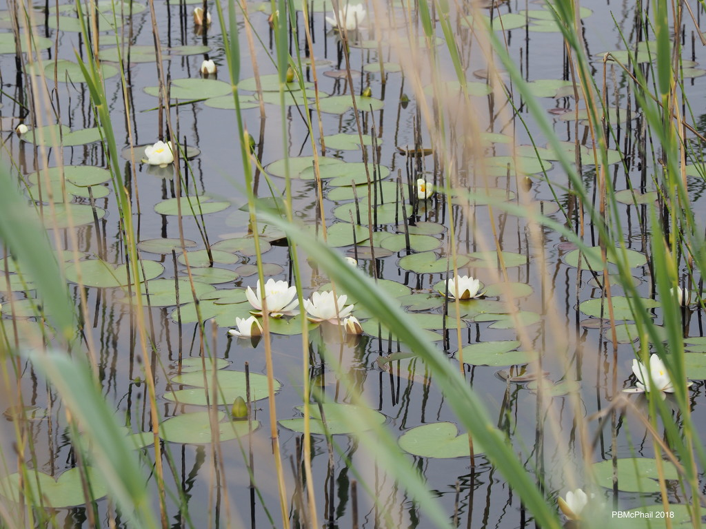 Water Lily Pond by selkie