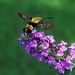 Hummingbird Moth Doing His Thing